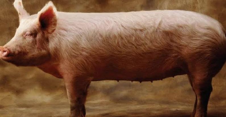 domuz yagi buyusu nasil bozulur
